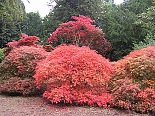 Acers at Westonbirt