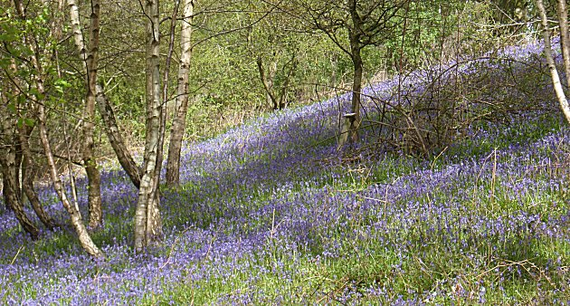 Bluebells at the knapp and papermill reserve