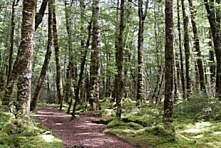 Mountain Beech Forest on the Kepler Track