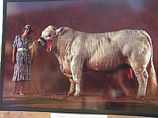 Charolais bull and English owner