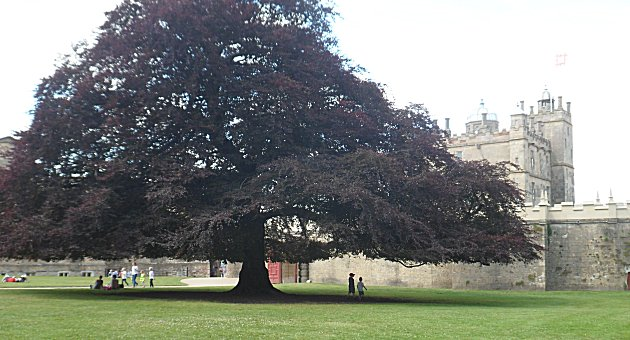 Copper Beech at Bolsover Castle