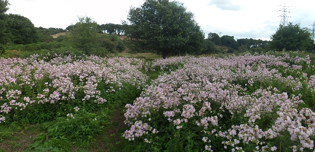 Flowers on Hartlebury Common