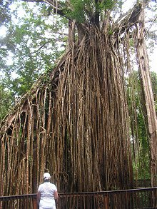 Curtain Fig Tree - Atherton Tablelands