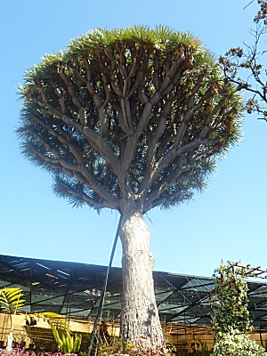 Dragon tree in Quinta das Cruzes garden