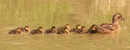 Mrs Duck and her 9 little ducklettes in line astern