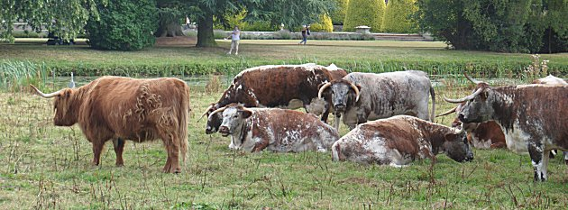 English Longhorn herd at Shugborough Hall