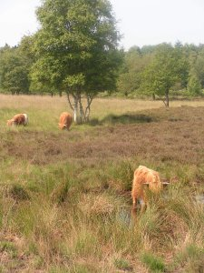 Highland cows on Drensche heathland