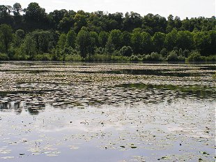 Water lillies on a Somme lake
