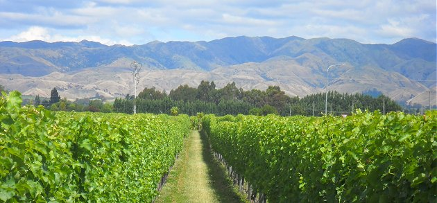 Malborough vines and Wither Hills