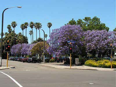 Jacaranda trees in Napier
