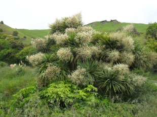 The most southerly palm in flower