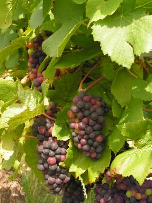 Pinot Noir grapes on the Cote d'Or