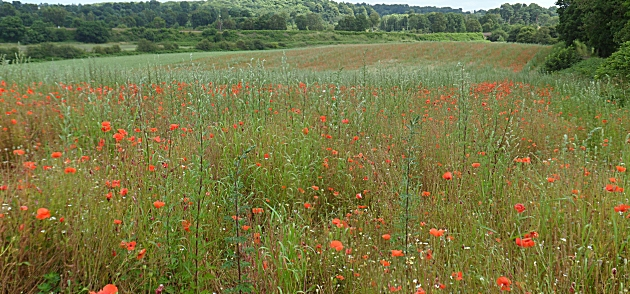 Poppy field near Bewdley